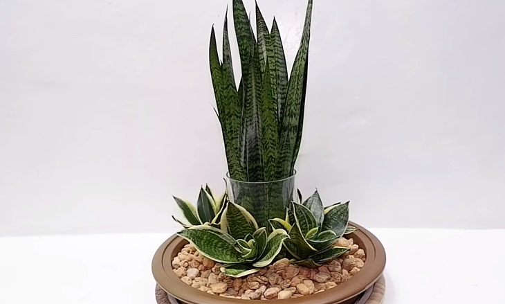 Snake plant medicinal