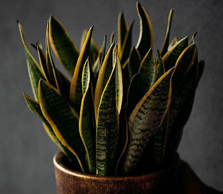 Snake plant survive without sunlight