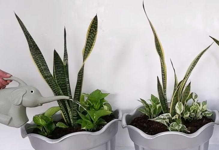 Snake plant watering