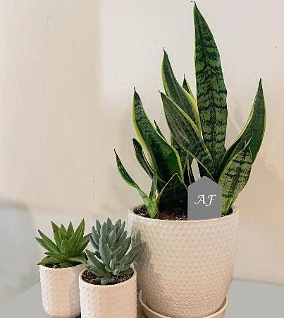 Snake plants or Sansevieria