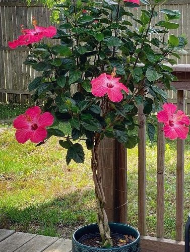Twisted hibiscus tree