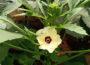 Hibiscus Esculentus