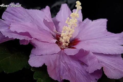 Hibiscus Evergreen