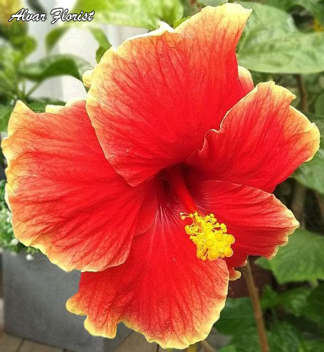 Hibiscus Malaysia