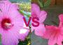 Hibiscus Vs Azalea