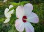 Hibiscus X Moscheutos