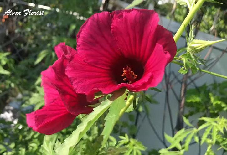 Hibiscus cannabicus