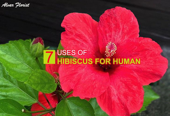 Hibiscus uses