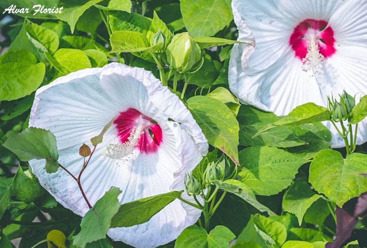 Hibiscus zone
