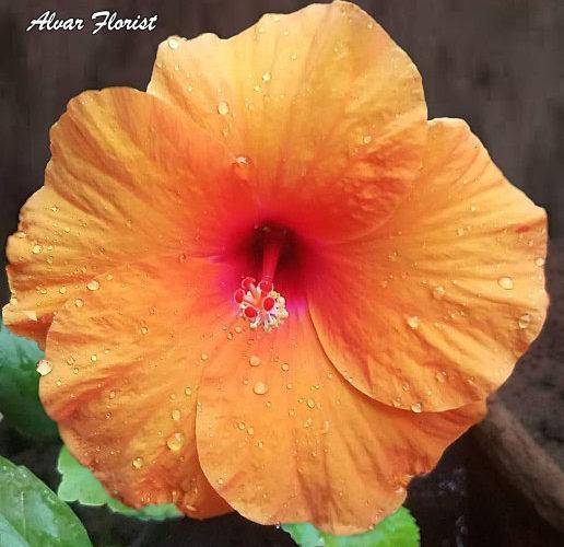 Orange Hibiscus is Hibiscus Rosa Sinensis