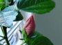 Water Hibiscus Indoors