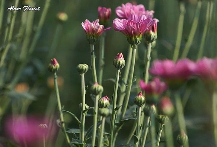 Chrysanthemum Flowers in Hot Areas