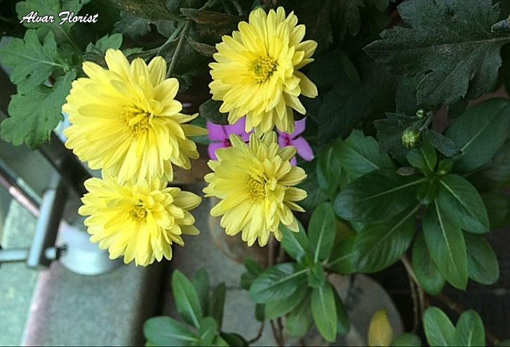 Chrysanthemum Tea Benefit