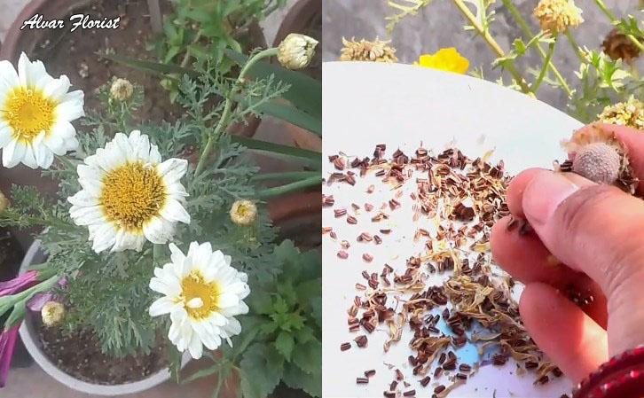 Chrysanthemum from Seeds