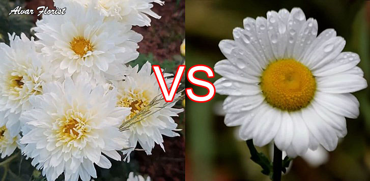 Chrysanthemums Plants and Daisy