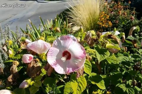 Hardy Hibiscus Near Me