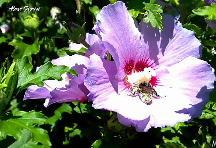 Hibiscus in Zone 8