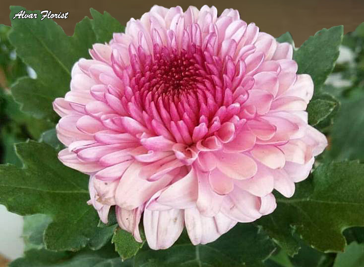 How to Fix Chysanthemum Leaves