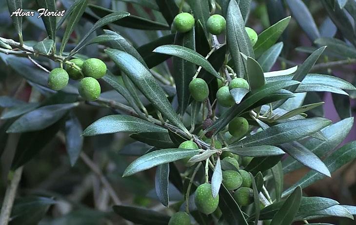 Olive Trees Varieties