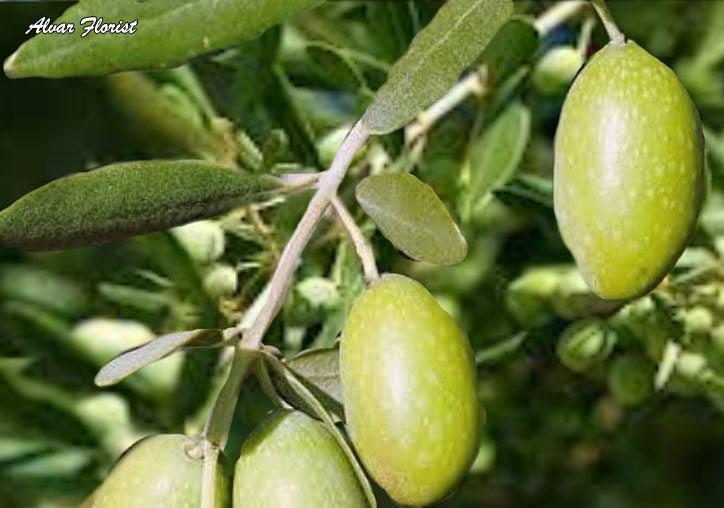Steps of Planting Olive Trees