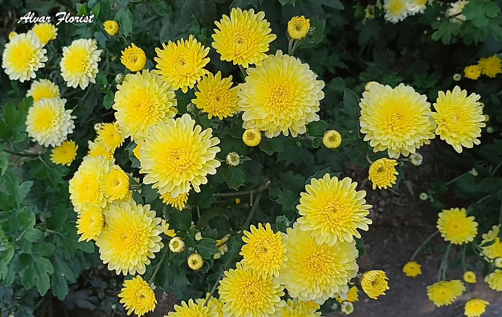 The Meaning of Chrysanthemum