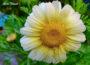 Best Area to Grow Chrysanthemums