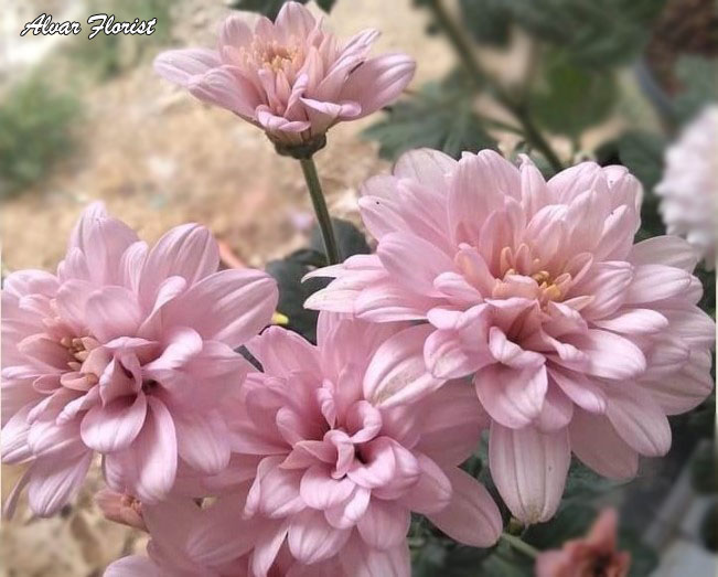 Characteristic of Chrysanthemums