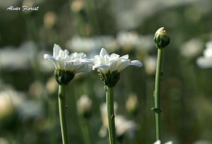 Chrysanthemum Lifespan
