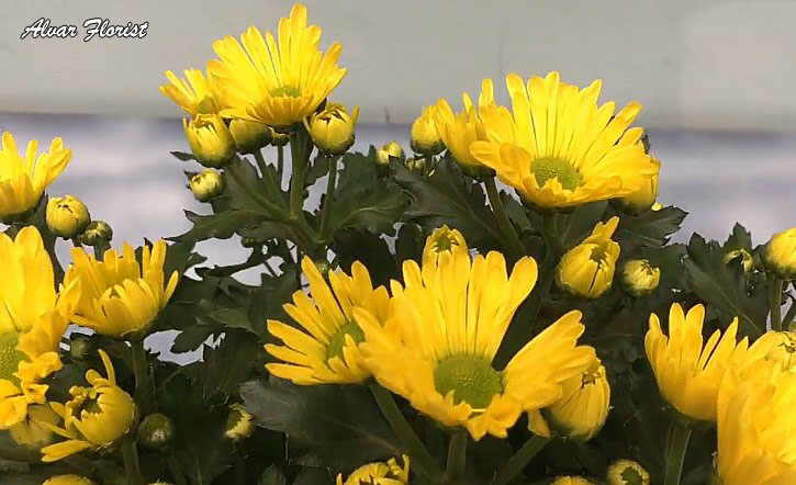 Chrysanthemum flowering