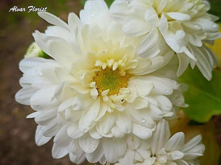 Chrysanthemums Perennials in Zone 5