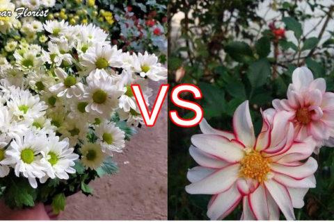 Chrysanthemums vs Dahlias