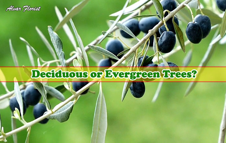Olive trees are deciduous