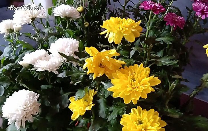 Are crysanthemum toxics to dog