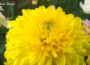 Chrysanthemums for Humans