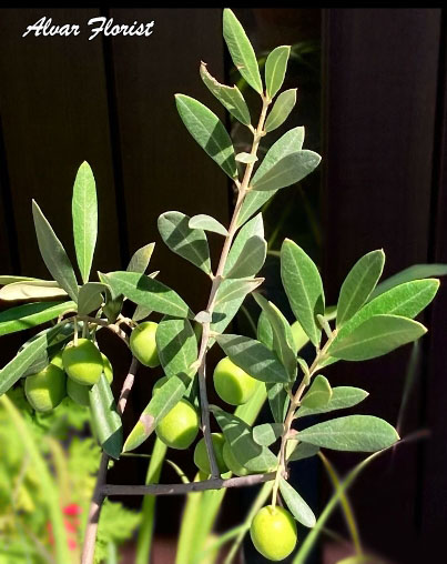 Olive Trees Blooming