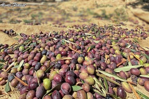 Olives and Olive Oil in Palestine