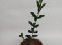 Recommended Fertilizer for Olive Trees